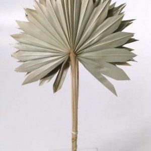 Hoja palmera preservada como abanico